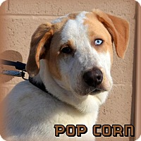 Adopt A Pet :: Pop Corn - DuQuoin, IL