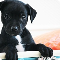 Adopt A Pet :: Riptide (Downy Oshun Litter) - Frederick, MD