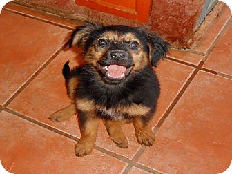 German Shepherd Dog Mix Puppy for adoption in San Diego, California - Patty