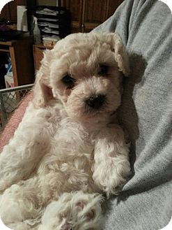 Bichon Frise Puppy for adoption in Sinking Spring, Pennsylvania - Gavin