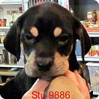 Adopt A Pet :: Stu - Greencastle, NC