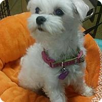 Adopt A Pet :: Beau - Covina, CA