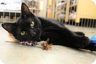 Domestic Shorthair Cat for adoption in Astoria, New York - Spica