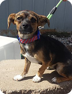 Terrier (Unknown Type, Small)/Chihuahua Mix Puppy for adoption in Kirkland, Washington - Juniper