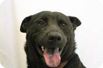 Australian Cattle Dog/Chow Chow Mix Dog for adoption in Huachuca City, Arizona - Nina