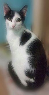 Domestic Shorthair Cat for adoption in Ocala, Florida - SIMON II