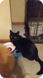 Domestic Shorthair Cat for adoption in Morris, Illinois - MIDNIGHT