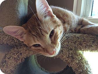 Domestic Shorthair Cat for adoption in Tampa, Florida - Tigger