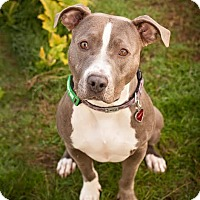 Adopt A Pet :: Lilly (foster dog) - Portland, OR