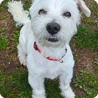 Lhasa Apso/Westie, West Highland White Terrier Mix Dog for adoption in Newberg, Oregon - Duncan/Dunkin