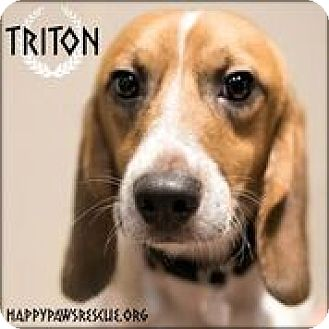 Beagle Dog for adoption in South Plainfield, New Jersey - Triton