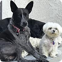 Adopt A Pet :: ChiChi Dango wants dog friends - Los Angeles, CA