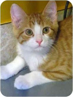 Domestic Shorthair Kitten for adoption in Markham, Ontario - Ginger Snap
