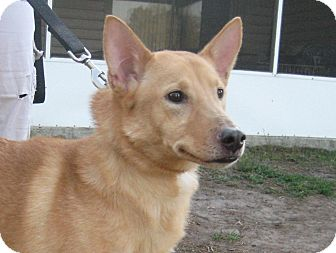 Shiba Inu/Sheltie, Shetland Sheepdog Mix Dog for adoption in Jacksonville, Florida - Josie