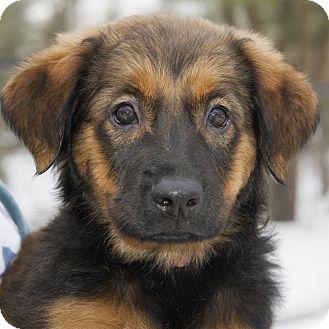 Labrador Retriever/Bernese Mountain Dog Mix Puppy for adoption in Brooklyn, New York - Vivacious Vixen