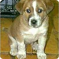 Adopt A Pet :: Bernard - dewey, AZ