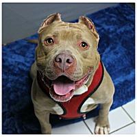 Adopt A Pet :: Velvet - Forked River, NJ