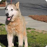 Adopt A Pet :: Cider - loving senior - Augusta County, VA
