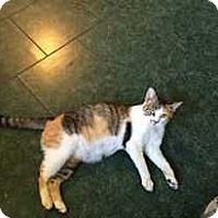 Domestic Shorthair Cat for adoption in South Bend, Indiana - Peanut