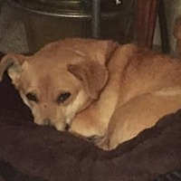 Dachshund/Pomeranian Mix Dog for adoption in Polson, Montana - Rosalie
