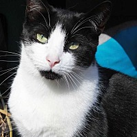 Domestic Shorthair Cat for adoption in Central Islip, New York - Pepper