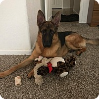 Adopt A Pet :: King Jr - Phoenix, AZ