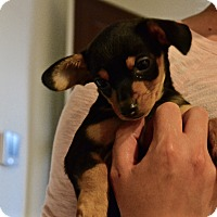 Adopt A Pet :: The Jewels Pups - Tempe, AZ