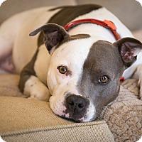 Adopt A Pet :: LADY - Waterbury, CT