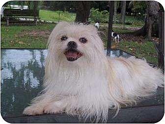 Shih Tzu/Pekingese Mix Dog for adoption in Davie, Florida - Crystal Joy