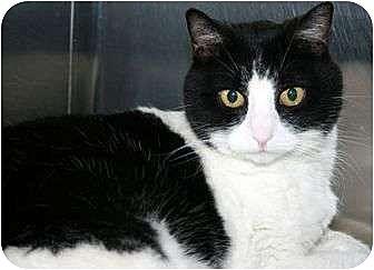 Domestic Shorthair Cat for adoption in Canoga Park, California - Precious