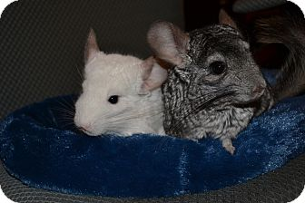 Chinchilla for adoption in Patchogue, New York - Pete