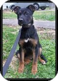 German Shepherd Dog Mix Puppy for adoption in Hagerstown, Maryland - Shooley