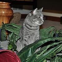 Domestic Shorthair Cat for adoption in O'Fallon, Missouri - Sprinkles