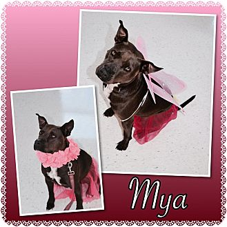 Pit Bull Terrier Mix Dog for adoption in Loxahatchee, Florida - Mya - Pawsitive Direction