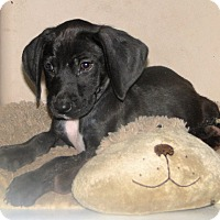 Adopt A Pet :: Drewby - Columbus, IN