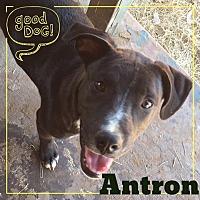 Adopt A Pet :: Antron - Snyder, TX