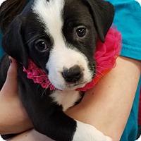 Adopt A Pet :: Carrie Jo - Alpharetta, GA