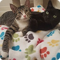 Domestic Shorthair Cat for adoption in Brandon, Florida - Patches & Sammie