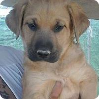 Adopt A Pet :: Lexi's Lassie - Las Vegas, NV