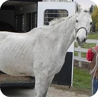 Thoroughbred for adoption in Woodstock, Illinois - Dartanian