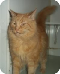 Domestic Longhair Cat for adoption in Ashland, Ohio - Clifford