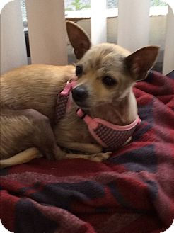 Chihuahua Dog for adoption in S. Pasedena, Florida - Emmie
