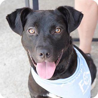 Labrador Retriever Mix Dog for adoption in Homewood, Alabama - Boca