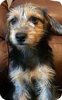 Yorkie, Yorkshire Terrier/Terrier (Unknown Type, Small) Mix Puppy for adoption in Kittery, Maine - Minnie