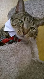 Domestic Shorthair Cat for adoption in Brea, California - LINUS