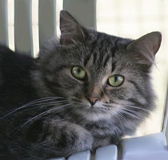 Domestic Shorthair Cat for adoption in North Fort Myers, Florida - Caecelia