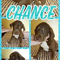 Adopt A Pet :: Chance - Shaw AFB, SC