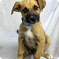 Adopt A Pet :: Captain - Westminster, CO