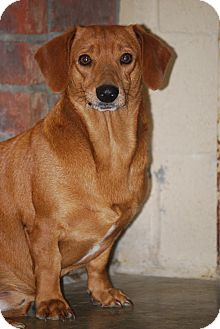 Dachshund Dog for adoption in Hershey, Pennsylvania - Little Bit