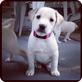 Labrador Retriever Mix Puppy for adoption in Torrance, California - CHLOE